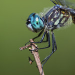 IMG_8393_dragonfly_acerca